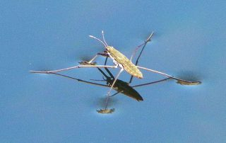 Sobre las aguas - Water strider