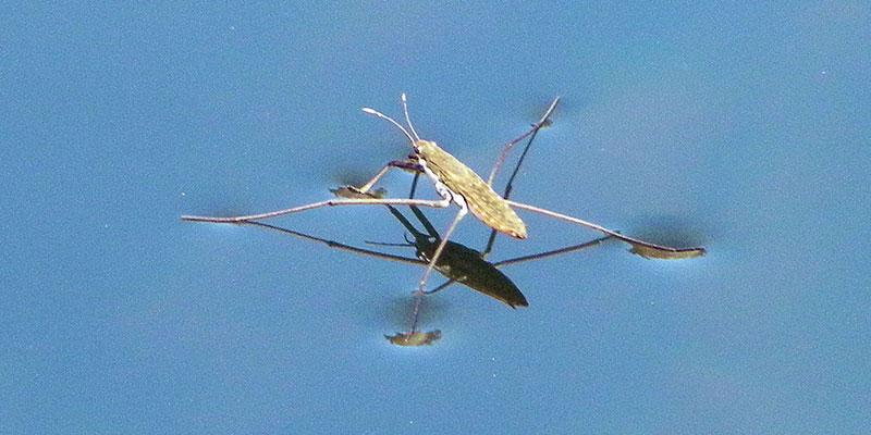 Sobre las aguas - Water strider