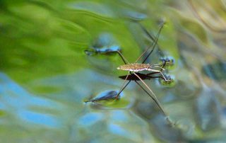 Sobre las aguas - Water strider 3