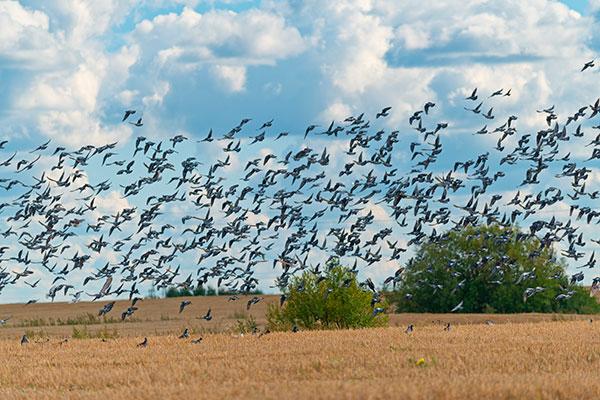Bandada de palomas
