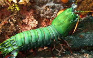 Un camarón enseña que Dios es el mejor diseñador