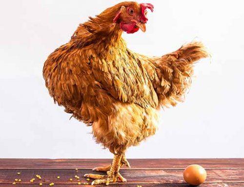 Qué fue primero: el huevo o la gallina