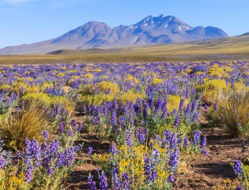Peculiaridades del desierto florido de Atacama